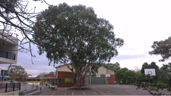 Big old gumtree in school playground