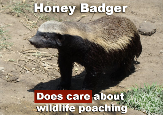 Honey badger does care about wildlife poaching. Photo of honey badger.