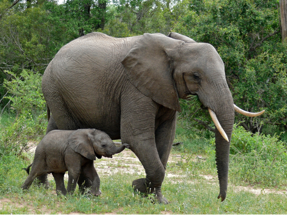 An elephat mother and calf